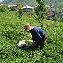 آمادگی ۱۵۶ کارخانه چایسازی گیلان و مازندران برای تحویل برگ سبز چای