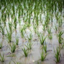 مدیر خدمات بیمه ای بانک کشاورزی استان امروز گفت : مهلت بیمه شالیزار ها هر سال 15 اردیبهشت به پایان می رسد اما امسال این زمان دوبار تمدید شد.