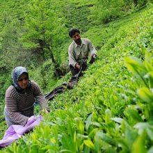 مطالبات چایکاران ؛رییس اداره چای شهرستان رودسر : چایکاران این شهرستان از ابتدای فصل برداشت برگ سبز چای تاکنون 8 هزار و 580 تن برگ سبز چای برداشت کرده اند.