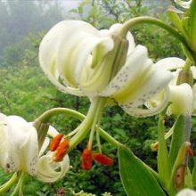 سرپرست اداره حفاظت محیط زیست رودبار امروز گفت : سوسن چلچراغ در منطقه ییلاقی داماش این شهرستان گل داد.این گل زیبا فقط در 2 منطقه دنیا به صورت خودرو می روید.