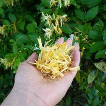 پیچ امینالدوله یکی از کهنترین گیاهان دارویی چند ساله است که بومی کشورهای چین، ژاپن، کره و انگلستان است.برای دفع سموم بدن و درمان علایم تب
