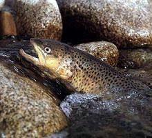 دومین جشنواره حفاظت از ماهی قزلآلای خال قرمز به همت دوستداران محیط زیست و جوامع محلی روستای کلهسرای بخش اسالم و حضور جمعی از مسئولین در محل سر چشمه