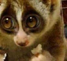 چشم گرد تنبل یا اسلولوریس گروهی از چندین گونه از خیسبینیان است که زادگاه آن بیشتر مناطق جنوب شرقی آسیا و سریلانکا است. این حیوان به ویژه از بابت حرکات آرام