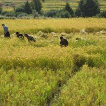 رییس سازمان جهادکشاورزی گیلان گفت:کشاورزان در فروش برنج عجله نکنند و به مرور محصولشان را بفروشند.تاکنون برداشت برنج در 35درصد از شالیزارهای است