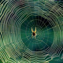 عنکبوت جانور بیمهرهٔ شکارچی است که دارای بدنی دو بخشی و هشت پاست. آنها فاقد بخشهای جونده دهان و بالند و توانایی تنیدن تار را به صورت ارثی از نسلی