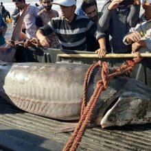 روز گذشته یک قطعه فیل ماهی نر با وزنی حدود 205 کیلوگرم و به طول 273 سانتی متر در پره کولاک بندرکیاشهر صید شد! این صید در حالی صورت گرفته است که این ماهی...