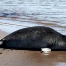رئیس اداره حفاظت محیط زیست بندر انزلی امروز گفت : لاشه یک قلاده گونه در حال انقراض و حفاظت شده فک خزری در ساحل شهر بندرانزلی پیدا شد. فک خزری در انزلی