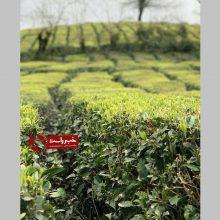 استاندار گیلان با بیان اینکه سطح خسارت ناشی از سرمازدگی باغات چای بسیار زیاد است ،ابراز خرسندی نمود که تمامی این اراضی بیمه است و پس از برآوردهای اولیه