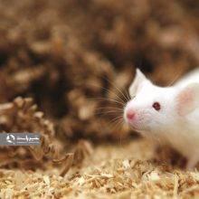 محققان دانشگاه کلمبیا دریافتند که سیستم پیچیده مغز برای تشخیص طعمها میتواند دستکاری شود و احساس طعم شیرینی و تلخی را در موشها تغییر دادند.