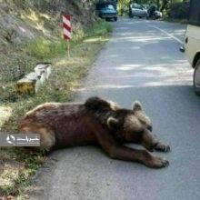 وخامت زخم گلوله خرس گریزلی را از پا انداخت
