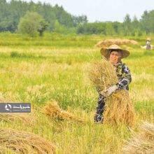 کشاورزان برای برداشت برنج