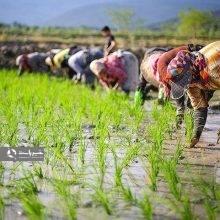 قدیمیترین سند از وجود برنج در گیلان