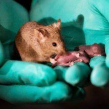 پژوهشگران آکادمی علوم چین میگویند که از دو مادر، و بدون پدر، بچه موشهایی ساختهاند. این بچه موشهاخودشان هم سالم بودند و توانستهاند که بچه بیاورند. موش بی پدر