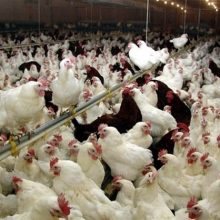 قیمت هر کیلوگرم مرغ تا ۱۵۵۰۰ تومان افزایش یافت