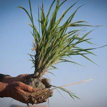آغاز توزیع بذرگواهی شده برنج در گیلان