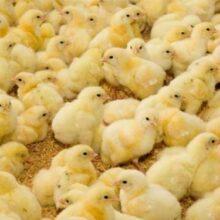 جوجه یک روزه کمیاب و گران شد | هشدار درباره افزایش دوباره قیمت مرغ
