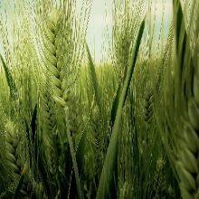 امروز در جلسه تعاون روستایی استان گیلان گفت: خرید گندم در گیلان مازاد بر نیاز در مرکز خرید رستم آباد رودبار از اواسط خرداد آغاز شده است و همچنان ادامه دارد.