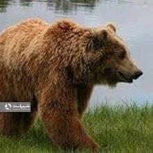 قلاده خرس قهوهای