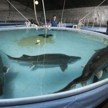 تالش در پرورش ماهیان خاویار رتبه اول کشور را دارد