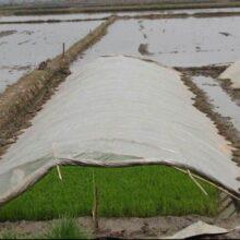 کشاورزان برنج خود را بیمه کنند | کشت خارج از تقویم زراعی در گیلان انجام نشود